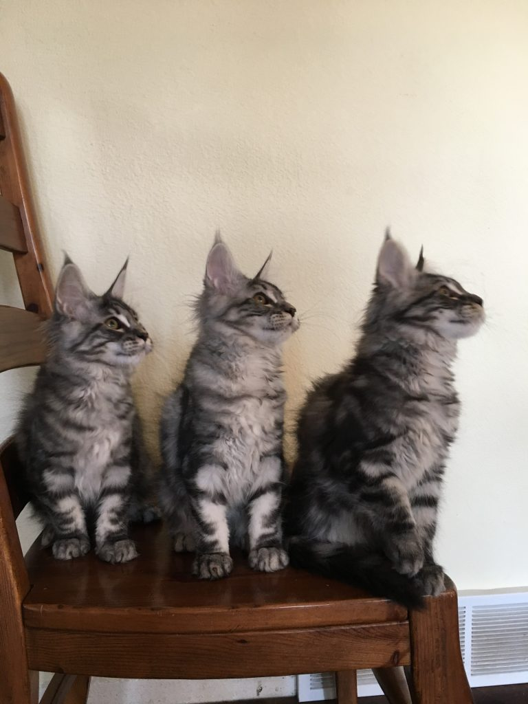 long lake maine coon