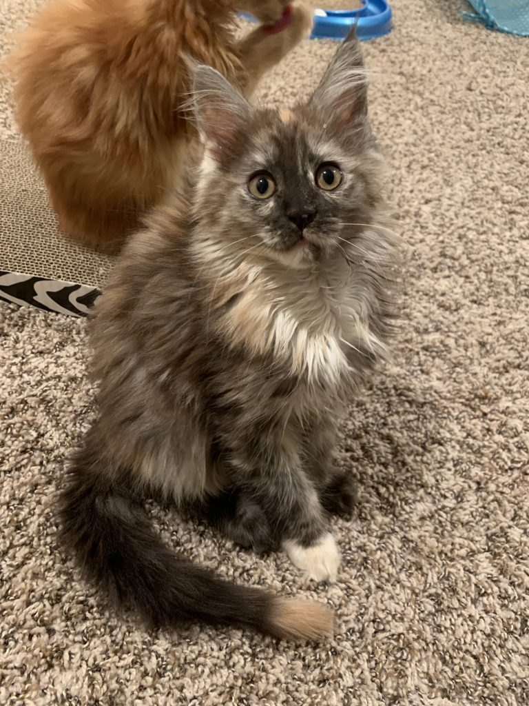 Aurora Long Lake Maine Coon